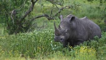 The rhino will eat you