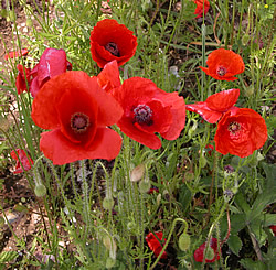 Poppies (©greatwar.co.uk)