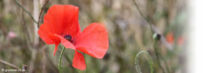 Poppy photographed on the First World War battlefield of the Somme near the Thiepval Memorial to the Missing.