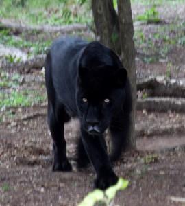 Black_Jaguar_(4375024092)