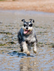 Schnauzer having fun