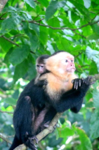 capuchin, manuel antonio, quepos, costa rica