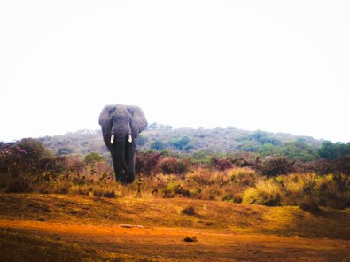 Safari - Elephant Approaching