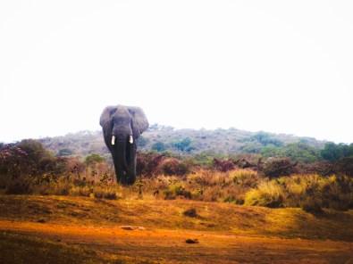 Safari - Elephant Approaching