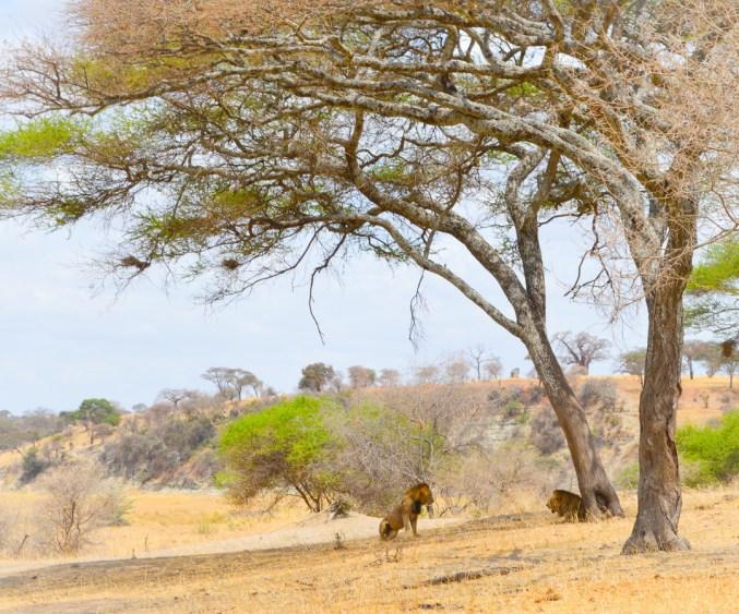 Safari - Two Male Lions