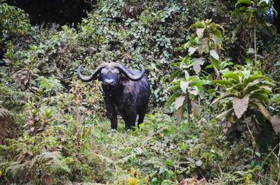 Safari - Water Buffalo