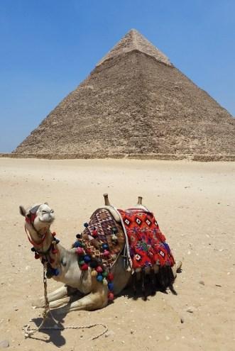 camel, pyramid, cairo, egypt