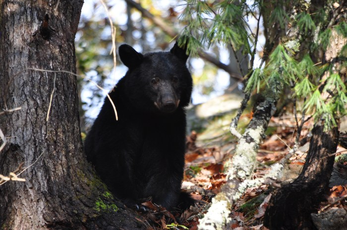 abrams falls, black bear