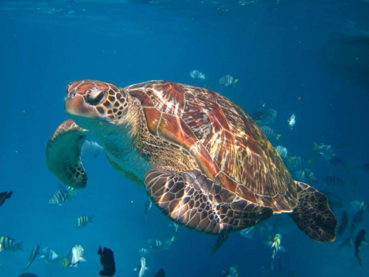 see a turtle from Snorkel liveaboard in Thailand