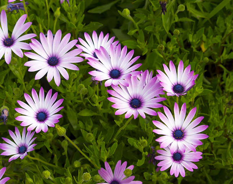 23 Common Types Of Daisies Photos Details Green And Vibrant