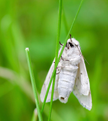 There are a lot of little white moths flying out of my lawn  What