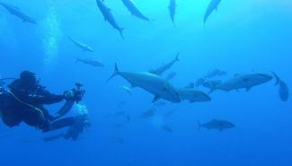 Amberjacks are a common encounter in Ustica