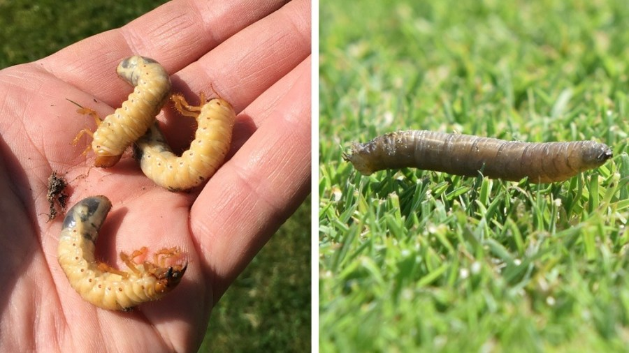 Chafer and leatherjacket grubs