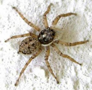 024-family-salticidae-jumping-spider