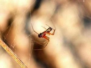 109-family-linyphiidae-frontinella-communis-male