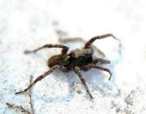 119-family-lycosidae-pardosa-sp