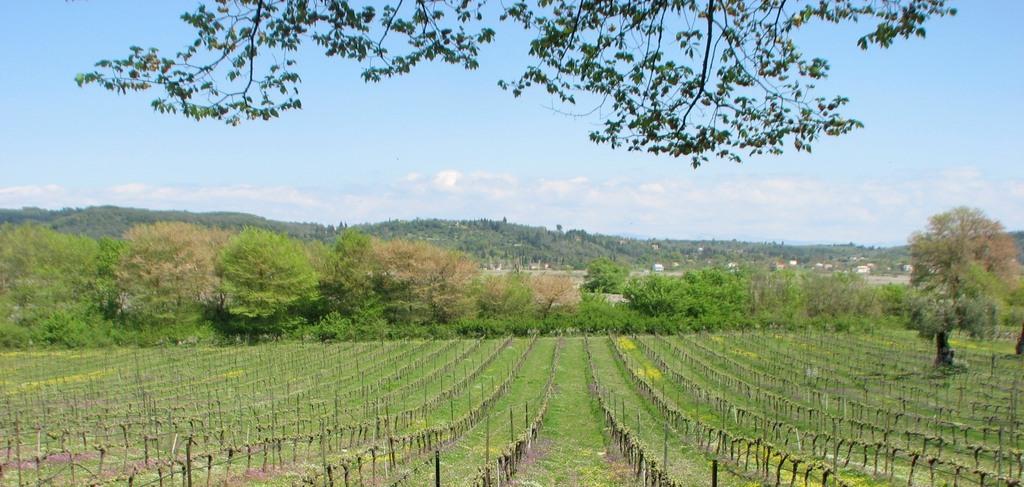 Corfu vineyard