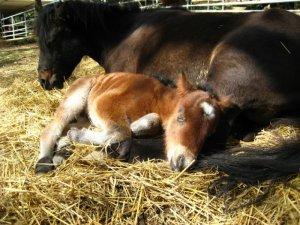 baby-horse-sleeping