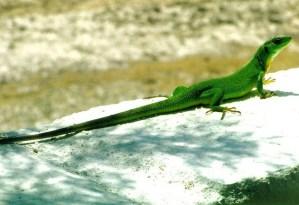 lacerta-viridis