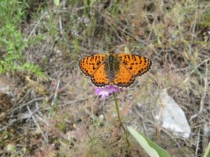 orange-corfu-butterfly-1200