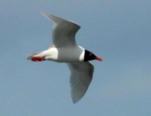 seagull-black-head