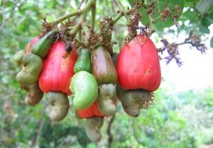 cashewnuts_hanging_on_a_cashew_tree