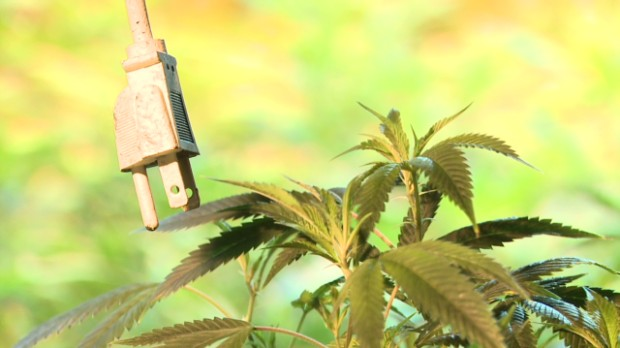 cannabis electricity