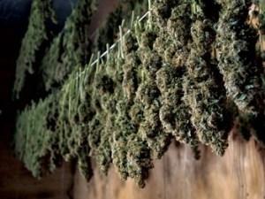 cannabis harvest