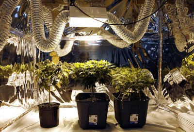 cannabis plants lighting