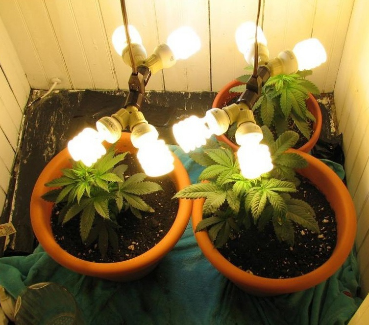 cfl lights for weed