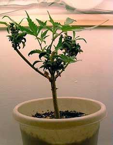 marijuana-plant-re-vegging-1