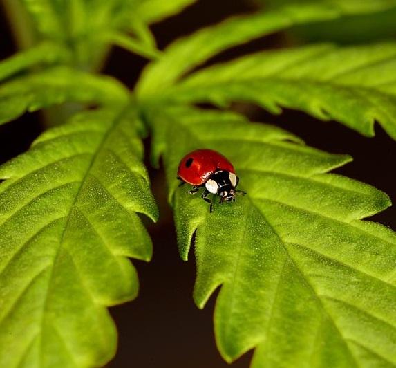 Outdoor Cannabis Pests and Predators