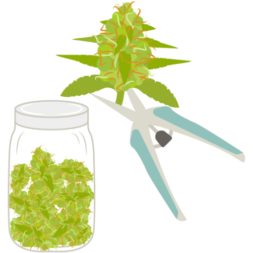 Cannabis Manicuring, Drying, Curing and Storing