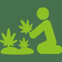 Harvesting Cannabis