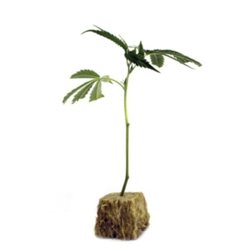 Step By Step to Cannabis Cloning