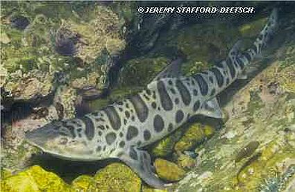 leopard shark in the wild 45
