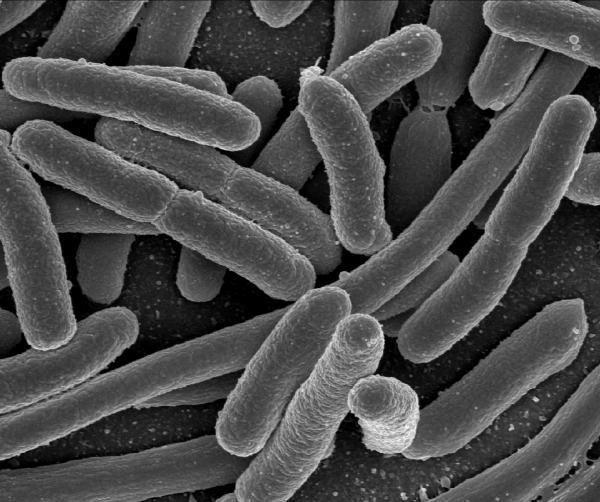 Genetically modified E-Coli biofuel