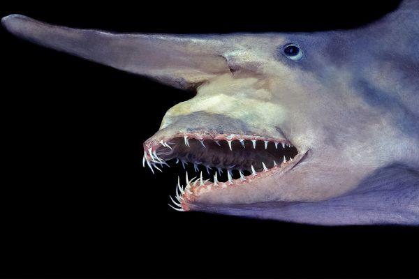 the-goblin-shark