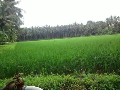 Farm of Krishna Rai