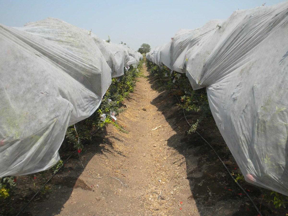 Pomgranate farm using non-woven fabric for sunburn protection : Side View