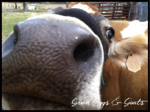 Jersey Cow Close-up from Fresh Milk 101