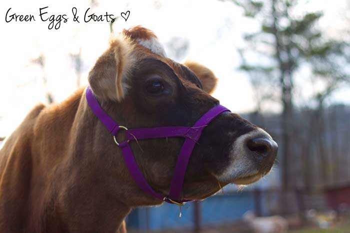 Jersey cow in a purple halter