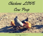 Chickens Love Cow Poop!