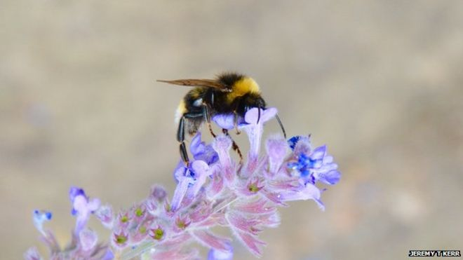 Across Europe and North America bumblebees are losing to climate change.