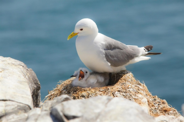 Numbers of black-legged kittiwakes have plunged by 77 per cent since the 1980s. Factors including climate change are blamed. Picture: RSPB.
