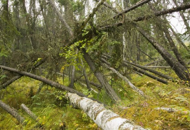 "This ""drunken forest"" of collapsed black spruce is also a sign of the melting permafrost. Science Photo Library"