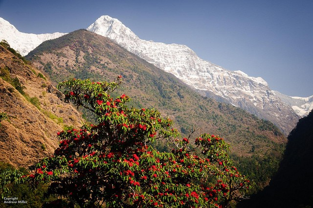 Rhododendrons in Nepal (Image: Andrew Miller, CC BY-NC-ND 2.0)