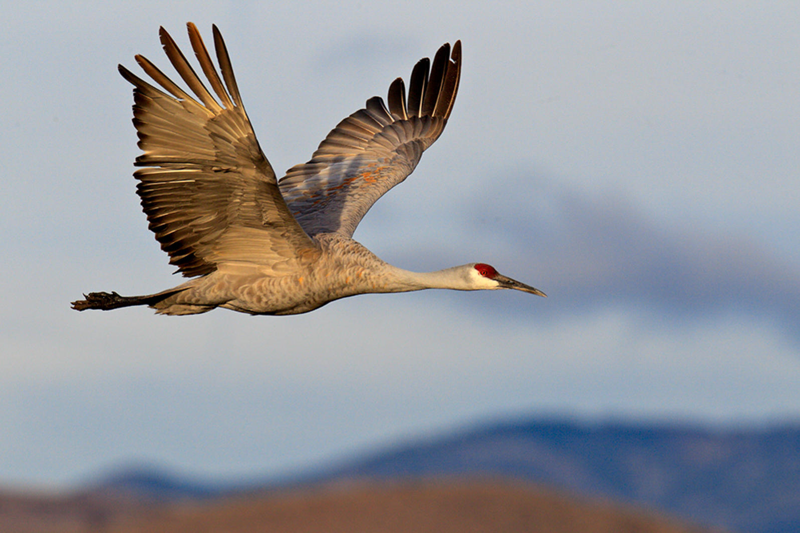 Sandhill Crane (Photo: Sheldon Goldstein / Audubon Photography Awards)