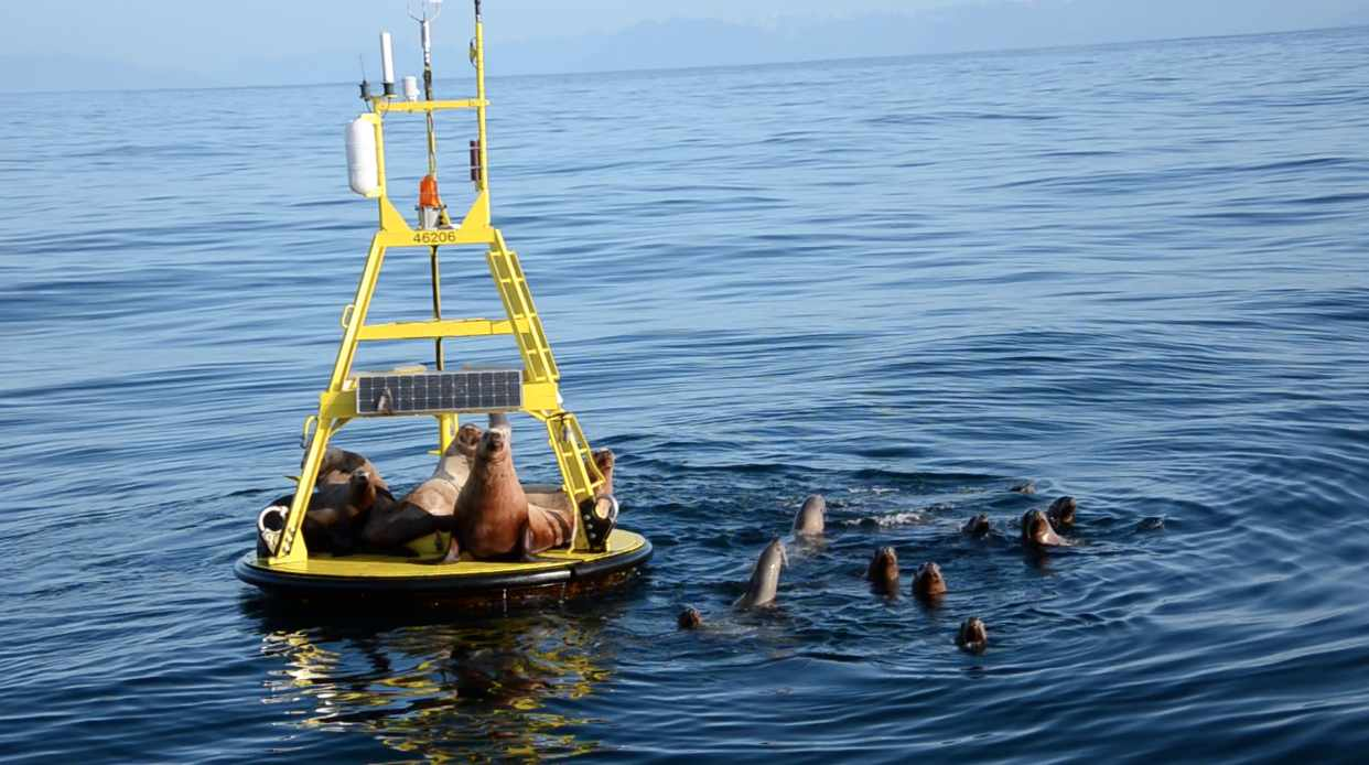 Sea lions lounging on a wave-measuring buoy (University of Victoria, contributed)