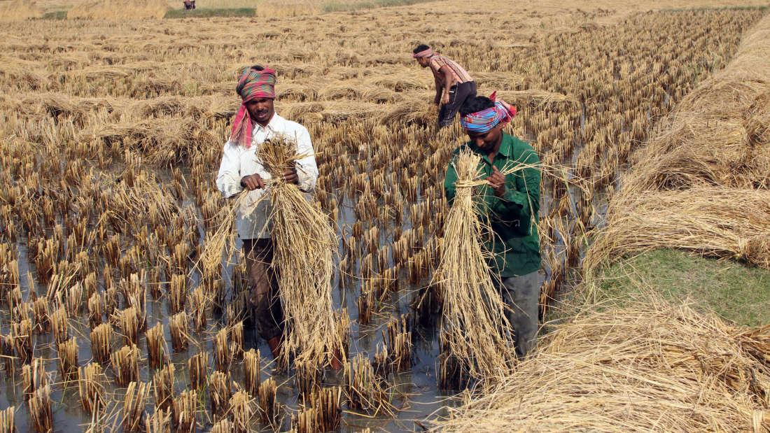 Indian harvest (Photo: Zvonimir Atletic | Shutterstock)